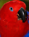 Eclectus Parrot, Eclectus roratus