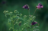 European Columbine, Aquilegia vulgaris, blooming, Oberaegeri, Switzerland, May 1995