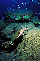 hawksbill sea turtle, Eretmochelys imbricata, on coral, Sipadan Island, Borneo, Malaysia, Pacific Ocean
