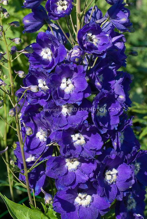 Delphinium 'Centurion Royal Purple' in bloom