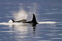 Killer Whale pair, Orcinus orca, surfacing in Southeast Alaska, USA. Pacific Ocean