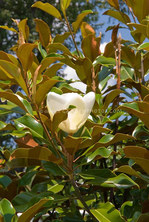 Magnolia grandiflora 'Little Gem' in white flower
