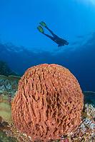 Scuba diver over Giant barrel sponge, Xestospongia testudinaria, Komodo Island, Komodo National Park, East Nusa Tenggara, Indonesia