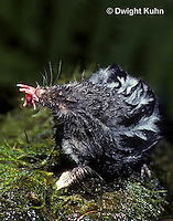 MB17-013z  Star-nosed Mole - resting on rock after a swim - Condylura cristata