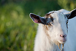 Brazoria County, Damon, Texas; a headshot of a  lone goat on a leash in the pasture