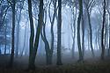 Beech woodland in dense fog. Peak District National Park, Derbyshire, UK. October.