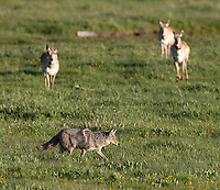I was fortunate to see a couple of interactions between coyotes and pronghorns. These two species will often take turns chasing each other. Sometimes the pronghorn will line up and trot around in formation… it almost looks like the coyote is a sheepdog in those instances.