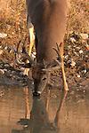 White-tailed buck in velvet