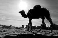 A camel walks on the beach during the sunrise in Tanger, Morocco, 23 October 2006.