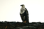 African fish eagle (subadult) (Haliaeetus vocifer), Chobe National Park, Botswana