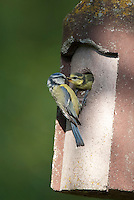 Blaumeise am Nistkasten, Altvogel füttert Küken, Jungvogel, Meise, Cyanistes caeruleus, Parus caeruleus, Blue Tit, Mésange bleue