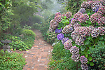 Vashon-Maury Island, WA: Fading summer colors of a mophead hydrangea 'Hydrangea macrophylla' at the entrance to a brick pathway shrouded in fog.