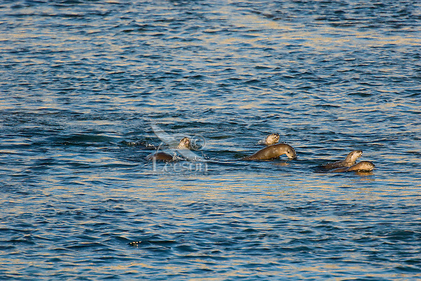 Northern River Otter (Lontra canadensis) swimming in the Yellowstone River.  Winter