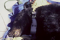 MA01-024c  Black Bear - tranquilized by wildlife biologists at winter den site, with radio collar - Ursus americanus