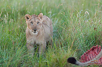 Young male Lion cub (Panthera leo) pauses near the exposed ribcage of a Waterbuck killed by the Lion's pride, Masai Mara, Kenya