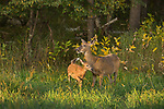 White-tailed doe and fawn feeding in a northern Wisconsin field.