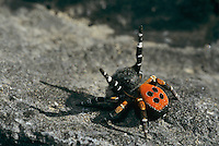 Ladybird Spider, Eresus cinnaberinus, male, Wallis, Switzerland, September 1997