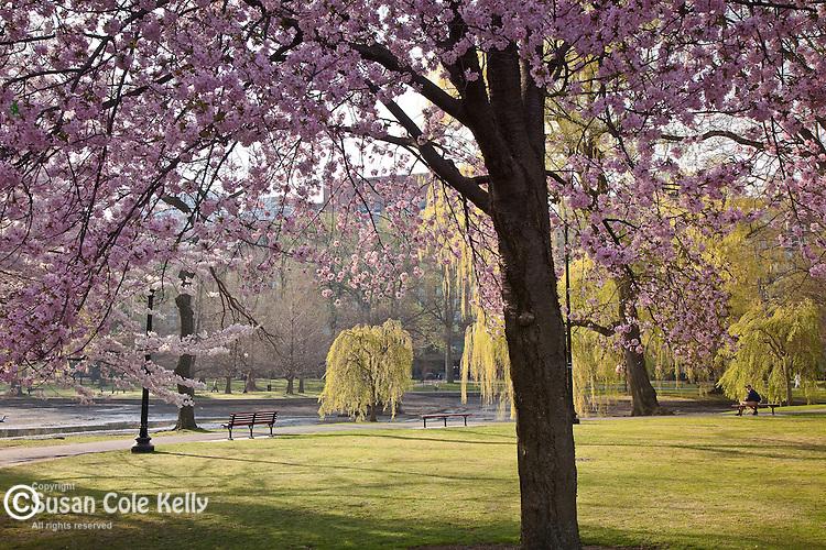 Cherry blossoms in Boston Public Garden, Boston, MA, USA