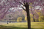Cherry blossoms in Boston Public Garden, Boston, MA, USA