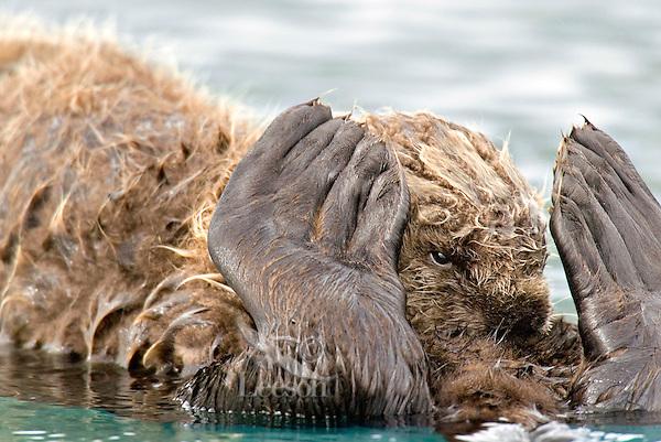 Sea Otter (Enhydra lutris) pup nursing while resting on mom's tummy.