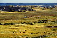 Wild horse herd in badlands of Theodore Roosevelt National Park, North Dakota.  Summer.  .(Equus caballus)