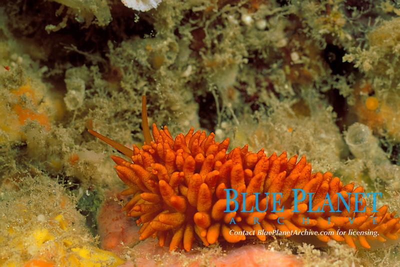cup coral nudibranch or orange mop nudibranch, Phestilla melanobrachia, feeds on orange cup corals, which it mimics, Kona Coast, Hawaii Island, the Big Island, Hawaiian Islands, USAA (Pacific Ocean)