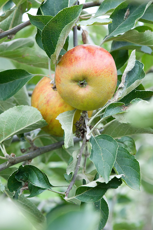 Apple 'Ribston Pippin', mid September. An English dessert apple thought to date back to aboout 1707, when a pip brought back from Rouen by Sir Henry Goodricke was raised at Ribston Hall in Yorkshire. since exported around the world.