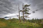 Trees in mist. Prince William Sound. Alaska. U.S.A.