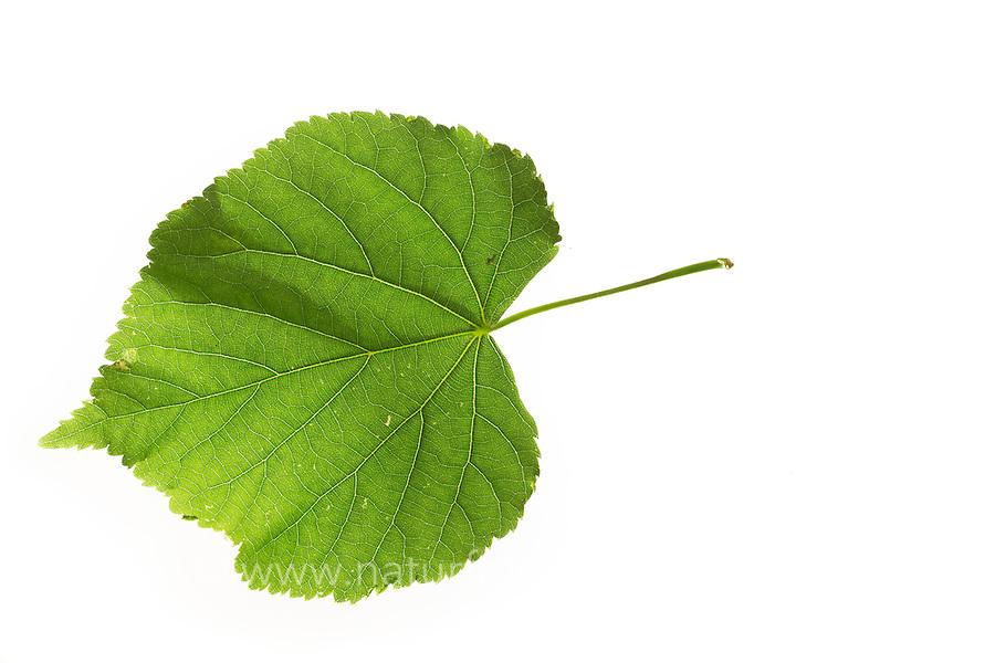 Winter-Linde, Linde, Winterlinde, Tilia cordata, Little Leaf Linden, Tilleul à petites feuilles. Blatt, Blätter, leaf, leaves