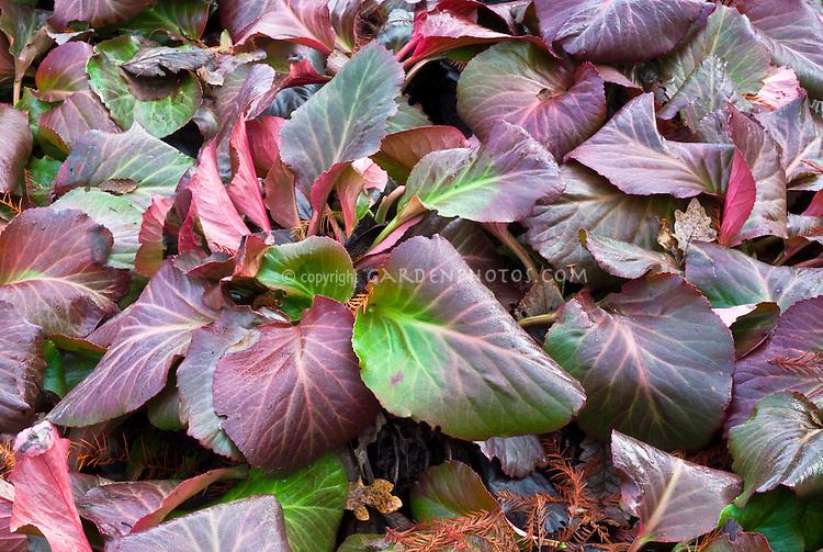 Bergenia Bressingham Ruby in winter color, red purple leaf foliage