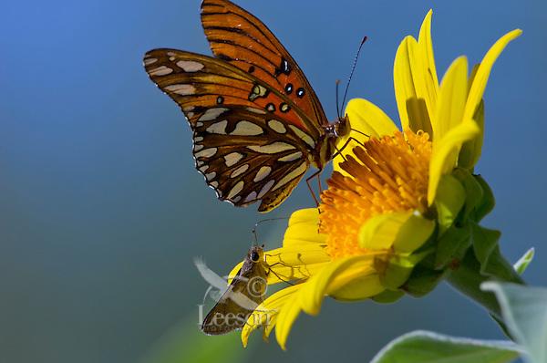 Gulf Fritillary (Agraulis vanillae) butterfly nectaring on Mexican Tree Sunflower (Tithonia fruticosa), Sonoran Desert, Arizona. Fall.
