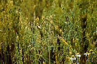 Hafer, Saat-Hafer, Echter Hafer, Ähre, Saathafer, Haferanbau, Haferfeld, Acker, Avena sativa, common oat