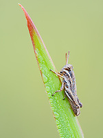 A dew-covered Spur-throated Grasshopper (Melanoplus sp.) nymph perches on a blade of grass in the cool air of early morning.
