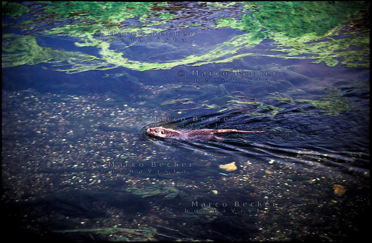 Gaggiano (Milano). Una nutria nuota nell'acqua stagnante del Naviglio Grande --- Gaggiano (Milan). A Coypu swimming in the backwater of the Naviglio grande canal