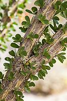 Fouquieria splendens, Ocotillo leaves emerging in Sonoran Desert at Anza Borrego California State Park