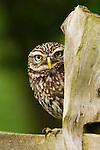 Little Owl (Athene noctua) on fence post. Farmland, Surrey, England. (Controlled Conditions).