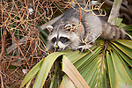 Ding Darling National Wildlife Refuge, Sanibel Island, Florida; a Raccoon (Procyon lotor) forages for berries in a Cabbage Palm (Sabal palmetto) tree © Matthew Meier Photography, matthewmeierphoto.com All Rights Reserved