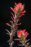 Roadside wildflowers in rural Amador County...Texas Indian paintbrush (Castilleja foliolosa)