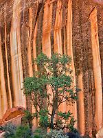 Desert varnish rock formation and pine tree at Capitol Reef National Park, Utah