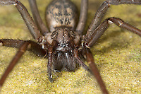 Große Winkelspinne, Hauswinkelspinne, Haus-Winkelspinne, Hausspinne, Kellerspinne, Weibchen, Tegenaria atrica, Eratigena atrica, Tegenaria gigantea, giant European house spider, giant house spider, larger house spider, cobweb spider, female