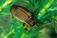 Gelbrandkäfer, Gelbrand-Käfer, Gelbrand, Weibchen, Dytiscus marginalis, great diving beetle, female, Schwimmkäfer, Dytiscidae