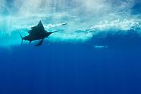 Pacific Ocean sailfish, Istiophorus platypterus, chasing a teaser lure, Vava'u, Kingdom of Tonga, South Pacific Ocean