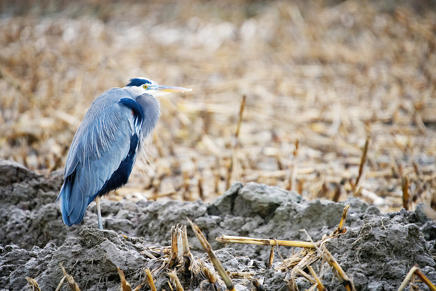 Great blue heron standing at edge of muddy irrigation channel, Fir Island, Skagit Country, Washington