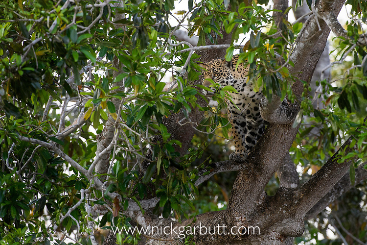 Female Jaguar (Panthera onca palustris) searching / hunting from a tree along the edge of the Cuiaba River. Porto Jofre, northern Pantanal, Mato Grosso State, Brazil.