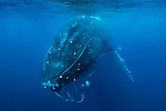 Humpback whale, Vava'u, Tonga<br /> <br /> For stock licensing please contact info@artwolfe.com or 206.332.0993