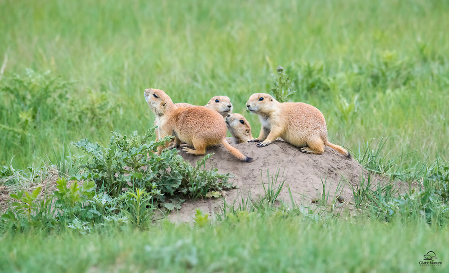 """All hell broke loose near the prairie dog """"town"""" (a meadow full of their burrows) - two raptors overhead, a coyote prowling the road overlooking their town, and annoying group of feral burros milling about.  This little family of Black-tailed Prairie Dogs (Cynomys ludovicianus) gathered at the opening of their burrow.  Mother is scenting and the others are on high alert. They all scurried underground pretty quickly until the danger passed.  Wind Cave National Park, South Dakota."""