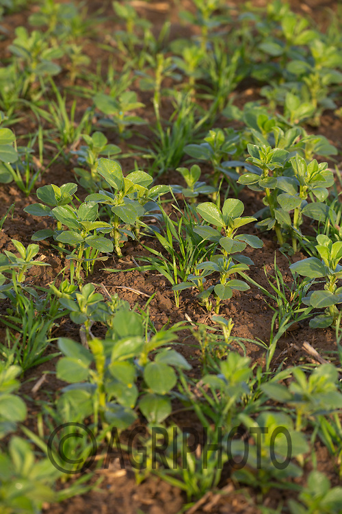 23.11.2020 Volunteer beans growing in a Winter Wheat crop<br /> ©Tim Scrivener Photographer 07850 303986<br />      ....Covering Agriculture In The UK....