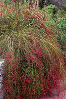Russelia equisetiformis (Coral Plant, Firecracker Plant), Los Angeles County Arboretum and Botanic Garden