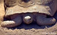 0217-1102  Radiated Tortoise, Found in Madagascar, Astrochelys radiata (syn. Geochelone radiata)  © David Kuhn/Dwight Kuhn Photography