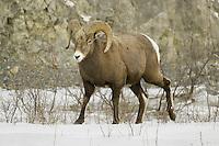 Male Bighorn Sheep walking across some snow